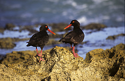 Sept. 8, 2015 - Black Oyster Catcher, pair, South Africa  (Credit Image: © Dolder, W/DPA via ZUMA Press)