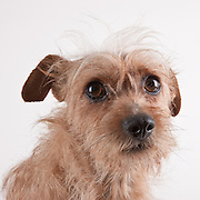 Cairn terrier mix standing on a white seamless background.  The 2 year old dog was photographed while waiting for adoption at the humane society.  Pet photography by Michael Kloth.
