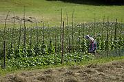 A rural Slovenian woman tends crops, on 18th June 2018, in Bohinjska Bela, Bled, Slovenia.