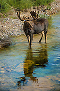 Bull Moose standing in a rippled pool of water in Grand Teton National Park.