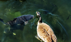 This photo makes me laugh. I swear this fish looks like it is having a serious take with the goose about not sharing food.