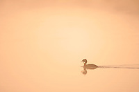 Slavonian Grebe (Podiceps auritus) silhouetted at dawn carrying material to nest, Bergslagen, Sweden.