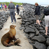 South America, Ecuador, Galapagos, Espanola. Galapagos Sea Lion mother and pup on path means a detour for visitors.