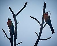 Madagascar Bee-eater at The Kingdom resort. Image taken with a Nikon 1 V3 camera and  70-300 mm VR lens