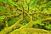Hoh Rainforest, Olymic National Park.