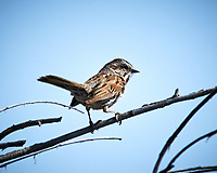 Song Sparrow (Melospiza melodia). Alamosa National Wildlife Refuge, Colorado. Image taken with a Nikon D300  camera and 80-400 mm VR lens