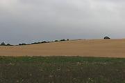 Wheat, crop, harvest, arable, farming, field, wheaten, flour, ripe, weeds, setaside,