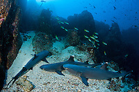 Whitetip Reef Sharks rest on a sandy patch of rocky reef.<br /> <br /> <br /> Shot at Cocos Island, Costa Rica