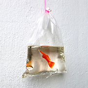 New Aquatic Wildlife Painted in Layers of Resin by Keng Lye<br /> <br /> With the exception of the repurposed containers, almost every aspect of these artworks by Singapore-based artist Keng Lye (previously) has been rendered in acrylic paint, carefully applied within layers of clear resin. A fish in a plastic bag, a tin can of tadpoles swirling under a frog on a lilypad, and even a completely convincing betta constructed from carved resin and painted with acrylic—each work a strange, lifelike amalgam of painting and sculpture. <br /> © Keng Lye/Exclusivepix