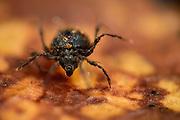 Moss mites (Damaeus onustus) play an importand part in the soil food web (soil ecology) Westensee, Kiel, Germany | Hornmilbe (Damaeus onustus) wird auch Moosmilbe genannt. Sie ist kein Parasit, sondern sie lebt im Bodenstreu und ernährt sich von abgestorbenen Pflanzenteilen, Pilzen, Algen, Pollen. Sie ist ein Humusbildner. Westensee, Kiel, Deutschland