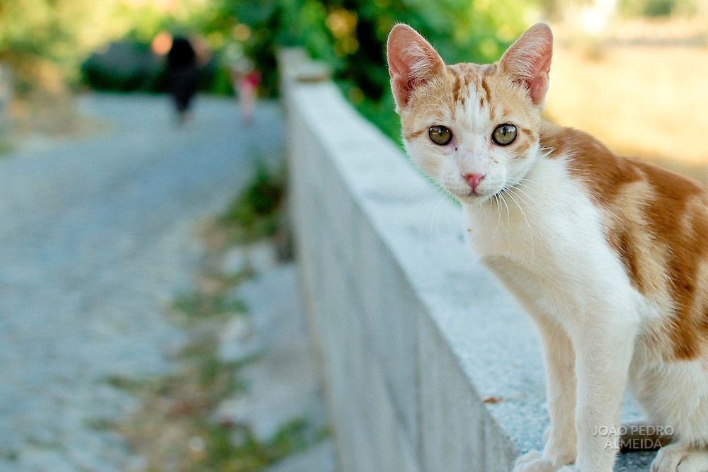 Curois cat standing over a wall