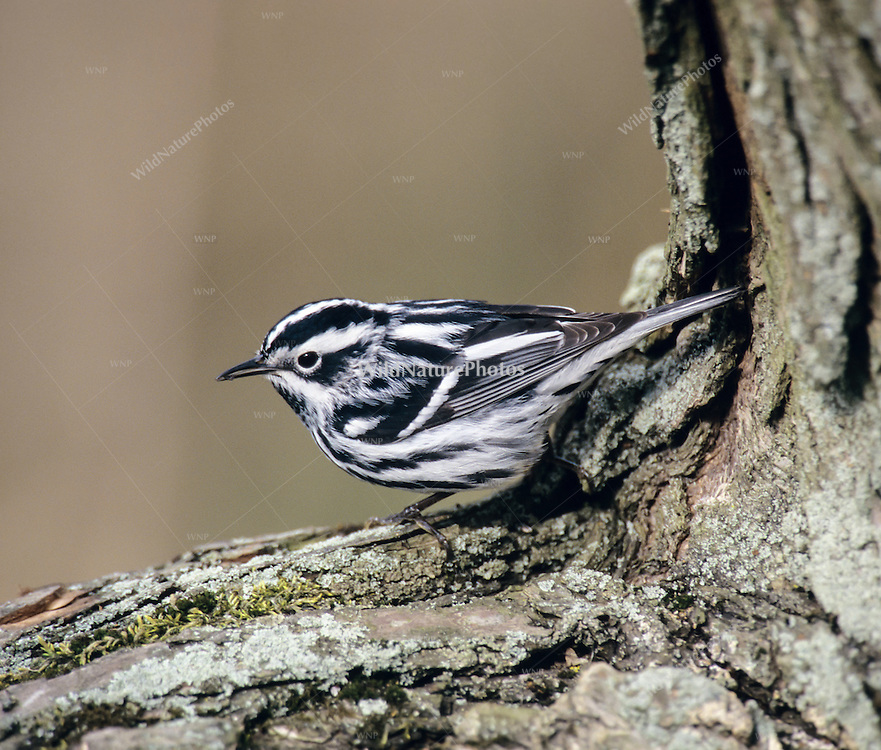 Black and white Warbler (Mniotilta varia), (Ohio)