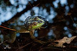 American Bullfrog (Rana catesbeiana), Wells State Park, Sturbridge, Massachusetts, US