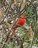 Northern Cardinal (Cardinalis cardinalis). Image taken with a Nikon D200 camera and 80-400 mm VR lens.