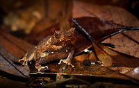 Short-legged horned toad, Megophrys brachykolos. also called Peak spadefoot toad, Xenophrys brachykolos, a frog native to southern China and Vietnam. It was first discovered in the Victoria Peak (locally known as The Peak), Hong Kong. Tai Tam Country Park (Chinese: 大潭郊野公園) in the south end of Hong Kong Island. At 1,315 hectares (3,250 acres), the park consists of one fifth of Hong Kong Island's land mass, Hong Kong, China.<br /> This Image is a part of the mission Wild Sea Hong Kong (Wild Wonders of China).