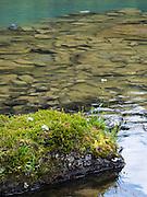 Moss and asters, Lake O'Hara, Yoho National Park, near Field, British Columbia, Canada