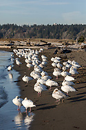 A Flock of Snow Geese (Anser caerulescens) resting at Iona Beach Regional Park in Richmond, British Columbia, Canada.  Richmond and Delta fields and wetlands are often a stop over for the Snow Geese as they migrate from their summer breeding grounds to warmer winter habitat.