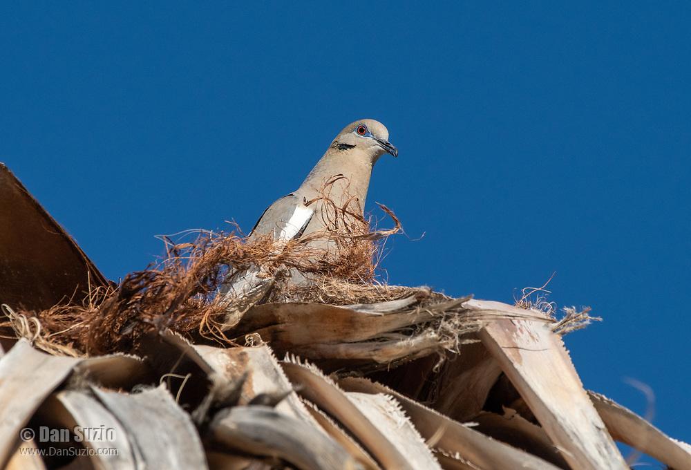 White-winged Dove, Zenaida asiatica, perches in a palm tree in Coachella Valley Preserve, near Palm Springs, California