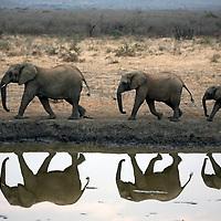 Africa, South Africa, Madikwe. Elephant trio walking at water's edge before dusk.