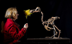 © Licensed to London News Pictures. 17/11/2016. Billingshurst, UK. Silke Lohmann dusts a rare dodo skeleton at Summers Place Auctions ahead of it's sale in their 'Evolution' Auction taking place on November 22, 2016.   Photo credit: Peter Macdiarmid/LNP