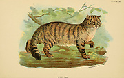 Wild Cat (Felis catus) From the book ' A handbook to the carnivora : part 1 : cats, civets, and mongooses ' by Richard Lydekker, 1849-1915 Published in 1896 in London by E. Lloyd