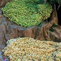 Asia, India, Calcutta. Garlands of freesia in the flower market in Calcutta.