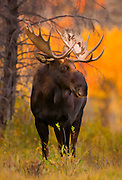 Large bull moose rendered in an artistic watercolor effect. The bull was standing near Oxbow Bend in Grand Teton National Park.