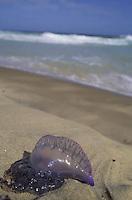 Aguamala en la arena, Playa de puerto Colombia, Estado Aragua, Venezuela.