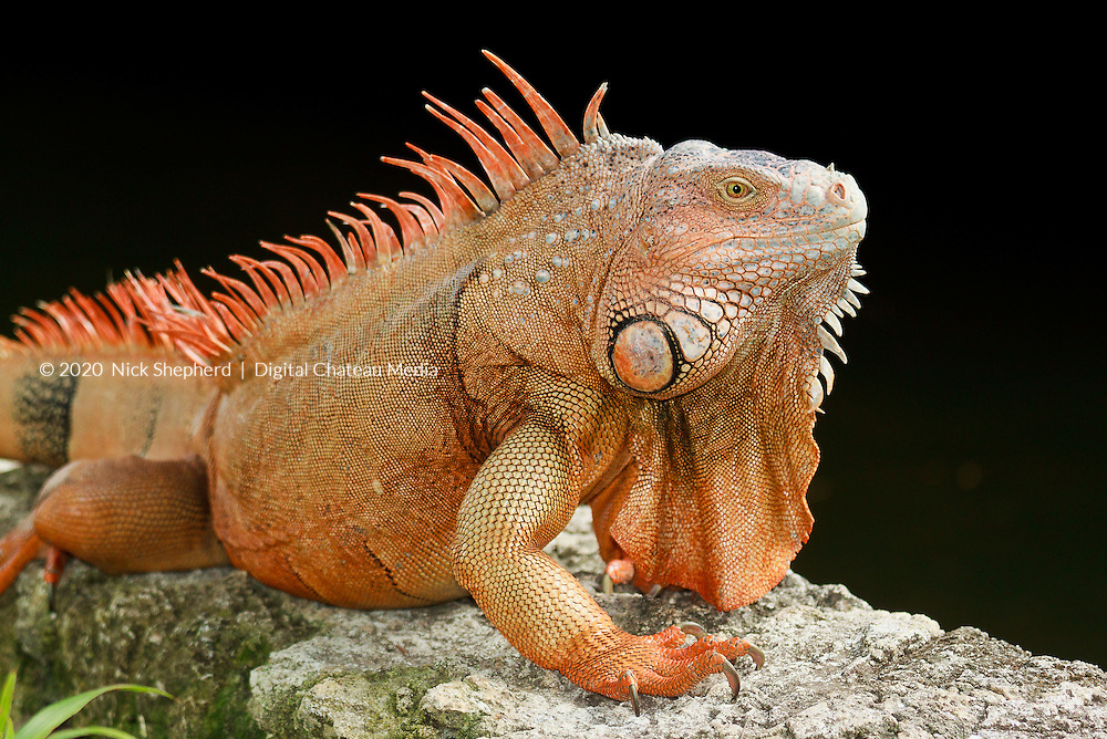 A mature Green Iguana, orange in colour with a large dewap (beard) and spines, about 5 feet in length, by a lake in the Yucatan, Mexico.