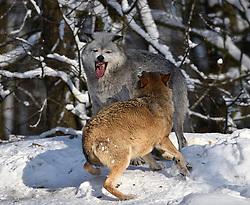 28.12.2014, Wildtierpark, Bad Mergentheim, GER, Wölfe im Wildtierpark Bad Mergentheim, im Bild Weiblicher Leitwolf, Alphawolf, mit Maul blutverschmiert, Zurechtweisung eines Jungtiers, Rangordnung, Dominanz, Timberwolf, Kanadischer Wolf (Canis lupus occidentalis) im Schnee, captive // Wolves in the Wildtierpark in Bad Mergentheim, Germany on 2014/12/28. EXPA Pictures © 2015, PhotoCredit: EXPA/ Eibner-Pressefoto/ Weber<br /> <br /> *****ATTENTION - OUT of GER*****