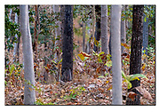 Can you spot the tiger?  Pench NP, India. Nikon D5, 200-400mm @ 400mm, f4, 1/200 sec, ISO4000, Aperture priority