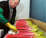 """Right little bit of cooking oil gives it a bit of a shine"". Graham Oldroyd selecting rhubarb sticks for the 82nd Annual Rhubarb Show, Caldergrove, Wakefield. February is high season for the forced rhubarb of the so-called 'Rhubarb Triangle' formed by Wakefield, Rothwell and Morley. These intensely flavoured plants with pink stems and yellow leaves - grown by candlelight and tended by hand in huge, heated forcing sheds - are one of the first culinary delights of the British winter."