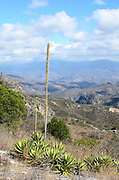 Agave plant in flower, Hierve el Agua, Mexico.