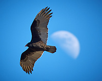 Turkey Vulture soaring past the moon. Image taken with a Nikon D2xs camera and 80-400 mm VR lens (ISO 100, 400 mm, f/5.6, 1/200 sec).