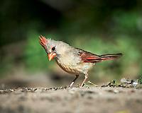 Northern Cardinal (Cardinalis cardinalis). Campos Viejos, Texas. Image taken with a Nikon D4 camera and 500 mm f/4 VR lens.