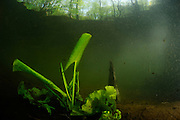Brandy Bottle, Yellow Pond Lily, Yellow Water (Nuphar lutea)  | Gelbe Teichrose (Nuphar lutea)