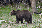 Grizzly bear,  Wyoming