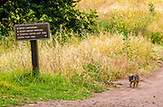 Island Fox and trail sign at Scorpion Ranch, Santa Cruz Island, Channel Islands National Park, California USA