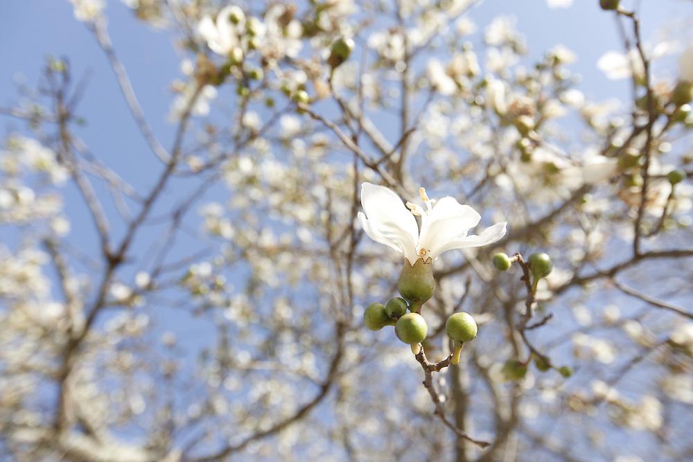 Caruaru_PE, Brasil.<br /> <br /> Flor da arvore conhecida como barriguda (Ceiba glaziovii) em Caruaru, Pernambuco.<br /> <br /> White Cotton-silk tree (Ceiba glaziovii) in Caruaru, Pernambuco.<br /> <br /> Foto: LEO DRUMOND / NITRO