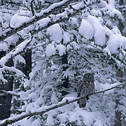 Great Gray Owl, (Strix nebulosa)  Adult in snowy timber. Montana. Late spring snow fall.