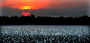 The sun sets over a Mississippi Delta cotton field.