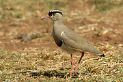 Crowned lapwing, Vanellus coronatus, Limpopo, South Africa