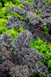 Lettuce 'Can Can' and Kale 'Curly Scarlet' - Brassica oleracea var. Capitata