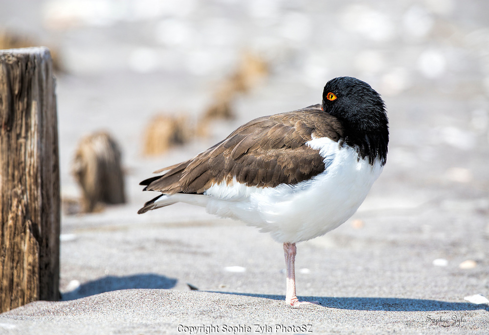 American Oystercatcher lookout rest