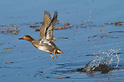 Male Green-Winged Teal Duck takes off with a large splash (Anas crecca) Back Bay Reserve, California