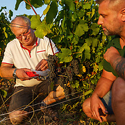 Vineyard manager Michel Bautrait (R) and his deputy Jeremy Labeau examine the ripeness of their pinot noir grapes at Champagne Mumm's vineyard in Mailly.G. H. Mumm & Cie, situated in Reims in northern France, is one of the largest Champagne producers and it is currently ranked 3rd globally based on number of bottles sold. The company is owned by Pernod Ricard.