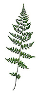Brittle Bladder Fern - Cystopteris fragiilis