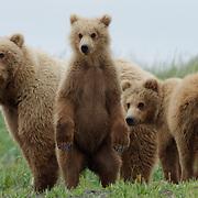 Alaska brown bear mother and cubs, Katmai National Park, Alaska.