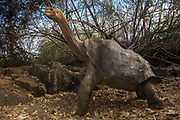 'Lonesome George' Giant Galapagos Tortoise (Geochelone elephantopus abingdoni) from Pinta Island. GALAPAGOS ISLANDS<br /> Of the 11 sub-species surviving in Galapagos now  'Lonesome George' is the last one of his sub-species and now lives in captivity in the Charlse Darwin Station on Santa Cruz island.<br /> ECUADOR.  South America<br /> ENDEMIC TO GALAPAGOS
