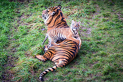 © Licensed to London News Pictures. 21/12/2017. Kirby Misperton UK. A Tiger cub born in August sits on it's father Buwa's back today as she took her first steps outside today at Flamingo Land zoo in Yorkshire. The female cub is so far un-named & is the cub of Bawa & Surya. The new arrival was the culmination of seven years of hard work by Flamingo Land animal carers in their attempts to protect the critically endangered species. Photo credit: Andrew McCaren/LNP